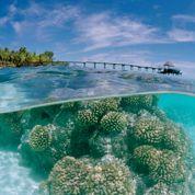 Les coraux polynésiens résistent