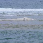 Un cachalot échoué au Cap-Ferret