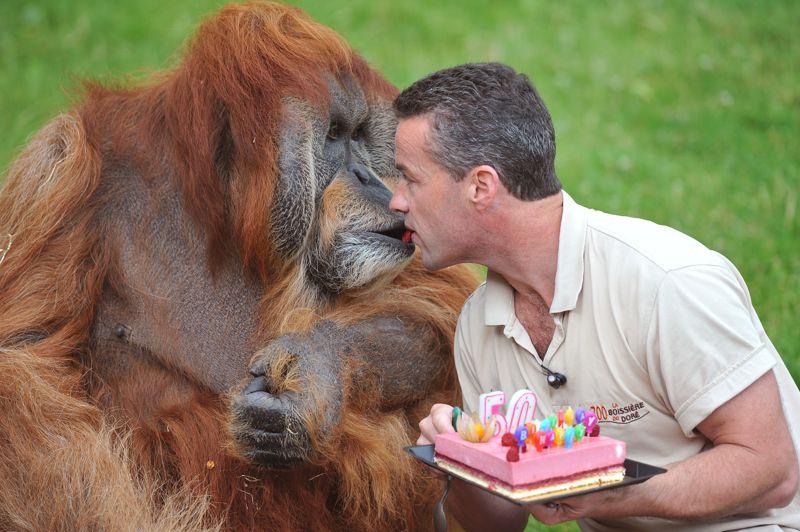 <strong>Joyeux anniversaire...</strong> Major, un orang-outan de Sumatra, a fêté ses 50 ans mardi au zoo de la Boissière-du-Doré (ouest de la France). Un âge plus que respectable qui fait de lui le plus vieil orang-outang au monde. Père de seize enfants, l'imposant singe de 125 kg s'est vu offrir pour l'occasion, et comme chaque année, un fraisier dont il a soufflé les bougies à plusieurs reprises avant de déguster le gâteau à la cuillère. Né en 1962 dans la forêt indonésienne, Major a été capturé sept ans plus tard puis importé par un zoo allemand, pour arriver en mars 1989 au zoo de la Boissière-du-Doré, qui en a fait sa mascotte.