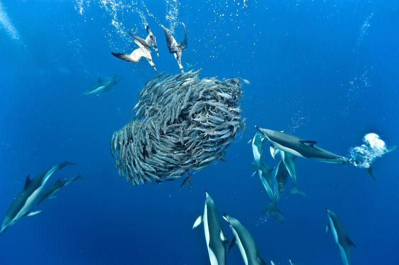 <strong>Cernés.</strong> Pour ces chinchards (Trachurus picturatus), le temps est désormais compté. Dans quelques minutes à peine, ils auront tous été exterminés, dévorés par plus gros et plus malins qu'eux. Leur instinct de survie leur dicte pourtant de se rassembler en groupes compacts pour déstabiliser leurs ennemis, mais cette fois la pression des prédateurs est trop forte. Attaqués en bas par des dauphins et en haut par des puffins cendrés, ils n'ont aucune chance. Cette impressionnante «matanza» a lieu chaque année dans ce même endroit des Açores où se rassemblent des millions d'animaux marins attirés par l'arrivée des bancs de plancton depuis les profondeurs de l'océan. Un grand cycle naturel qui voit défiler la ronde séculaire des grands cycles alimentaires.