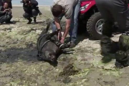 Il y a un an : 36 sangliers morts près des algues vertes