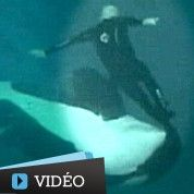 La vidéo choc d'une orque attaquant son dresseur