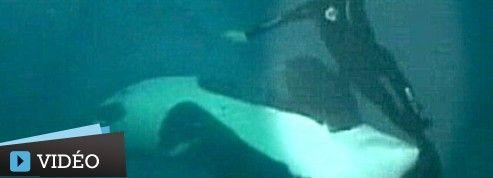 Les images spectaculaires d'une orque attaquant son dresseur