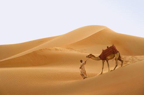 À Abu Dhabi, les éleveurs de chameaux sélectionnent les meilleures bêtes pour les faire participer à des courses.