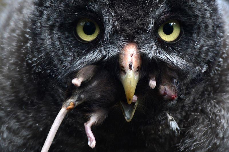 <strong>Prise de bec. </strong>Cette pauvre souris n'avait aucune chance. Cette chouette lapone et ses quatre sœurs nées en mai dernier dans leur enclos du parc zoologique de Berlin dévorent chacune jusqu'à 30 rongeurs par jour. Dans la nature, ce grand rapace (1,4 mètre d'envergure), aussi appelé «Fantôme du Nord», n'hésite pas à chasser de jour et s'attaque même à des lièvres ou des belettes. Le visiteur est hypnotisé par les grands yeux dorés et le regard fixe de cet impitoyable volatile. Sa seule faiblesse: l'exploitation des forêts qui menace ses territoires de nidification.