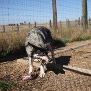 Des loups gardiens de prison aux États-Unis