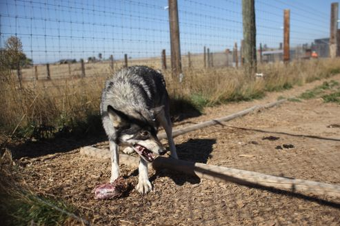 Le centre pénitentiaire de Louisiane a plus de 80 chiens-loups à son service.
