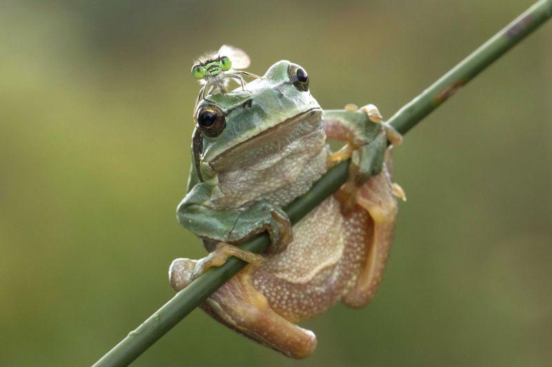 <strong>Aérodrome de fortune.</strong> Qui, de la grenouille ou de la libellule, a l'air le plus embarrassé? Difficile de percer le mystère de ces deux regards si différents. Confortablement installée sur sa tige préférée, à quelques centimètres seulement de la surface de l'eau, ce paisible batracien observait le petit monde qui s'agitait autour de sa mare. Un univers de poche grouillant de vie, où de nombreuses espèces animales et végétales trouvent leur subsistance. De son côté, la libellule, toujours en quête de proies à capturer, ne cessait de virevolter dans les airs, pourchassant mouches et moucherons jusqu'à l'épuisement. Au point de prendre pour perchoir le premier point d'appui venu. Et d'atterrir quelques instants sur la tête de notre perplexe grenouille.