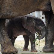 Un éléphant naît d'une insémination artificielle