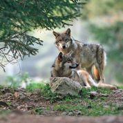De plus en plus de loups en France
