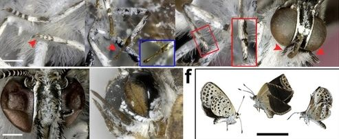 Effets des mutations observés sur les pattes, les antennes, les yeux et les formes des ailes, observés par les biologistes japonais sur la deuxième génération de papillons. Crédit photo: Scientific Reports
