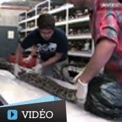 Un énorme python trouvé en Floride