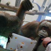 À Toronto, des orangs-outans accros à l'iPad