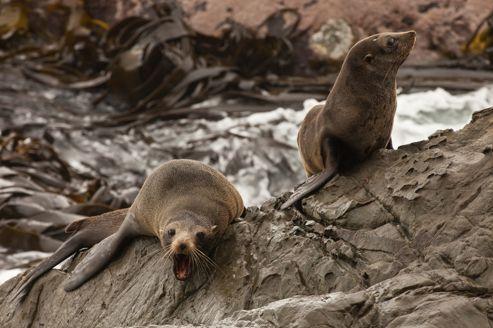 Les otaries à fourrure présentes sur l'île Kangourou sont aujourd'hui une espèce protégée.