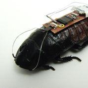 Un cafard vivant piloté comme un robot