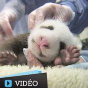 Le bébé panda de San Diego est un mâle