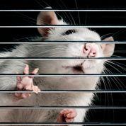 Un OGM de Monsanto toxique pour les rats