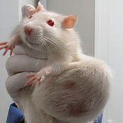 Rats nourris aux OGM: une étude contestée
