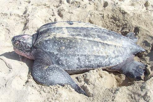 Le Figaro – Environnement : Trois tortues luth échouées sur les côtes françaises