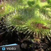La plante qui attaque en 75 millisecondes