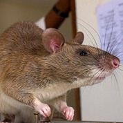 Des rats dressés pour détecter la tuberculose