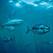 Espoirs pour la survie du thon rouge