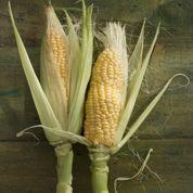 Où sont les OGM dans notre alimentation