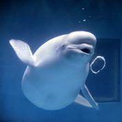 Une baleine imite la voix de l'homme