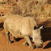 Il coupe ses ongles pour défendre les rhinocéros