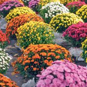 Chrysanthèmes : un marché en pleine forme