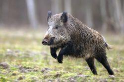 Splendide, majestueux et combatif, le sanglier constitue le socle de la chasse du grand gibier en France. Et concentre à lui seul la majorité des dégâts…