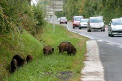 Aucun lieu n'est épargné par les conséquences de l'explosion des populations de sangliers. En quête de nourriture, ces animaux n'hésitent pas à s'aventurer au bord des routes comme ici, sur la RN51 entre Épernay et Reims.