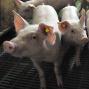L'odeur des porcheries fait monter la tension
