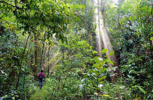 Le long du Kinabatangan, c'est dans cette poche de forêt secondaire que les équipes de Red Apes Encounters étudient le comportement des orangs-outans.