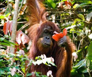 Les orangs-outans sont des grands singes arboricoles que l'on pensait condamnés hors des forêts primaires.