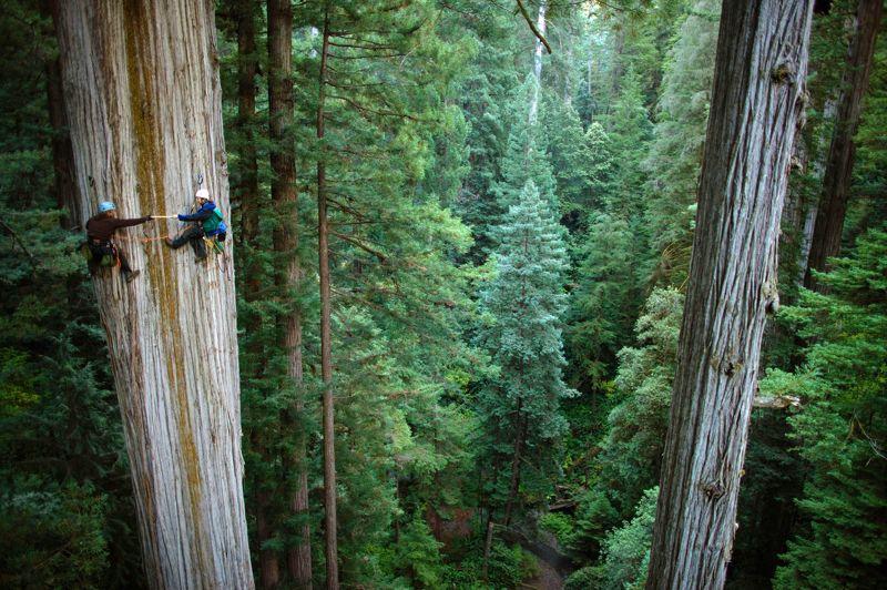<strong>FORT, FORÊT, FOREVER -</strong> Ces deux botanistes occupés à prélever un échantillon ressemblent tout à fait à des alpinistes accrochés à une paroi. Il est vrai que le séquoia géant auquel ils s'attaquent ici, dans le Parc national de Redwood, en Californie, n'est rien de moins que l'Everest des forêts de la planète. Il peut ainsi atteindre plus de 120mètres (celui-cien fait 106), soit la hauteur d'un immeuble de 30 étages, pour plus de 10 mètres de diamètre. Mais le plus impressionnant chez ce géant des forêts reste sa longévité.La dendrochronologie, qui permet une datation précise en analysant la morphologie des anneaux de croissance des arbres, a permisde donner à l'un d'entre eux l'âge canonique de 3500 ans!