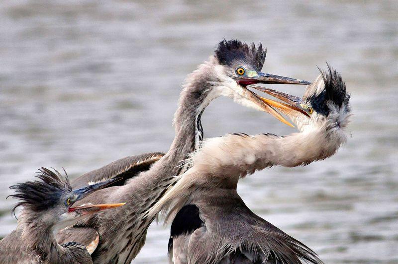 <strong>HÉRONS D'ÉTANGS MODERNES </strong>- Une danse nuptiale? Un ballet moderne? Une prise de bec? Non, c'est une banale dispute à l'heure de passer à table qui oppose ces deux hérons cendrés des étangs de Camargue sous l'oeil d'un arbitre intéressé. Objet de la querelle, un poisson leur nourriture de base que les deux belligérants pêcheurs à l'affût, ont capturé en même temps, le sortant de l'eau d'un même mouvement en le tenant l'un par la tête, l'autre par la queue. Une scène de la vie quotidienne et ordinaire chez les hérons cendrés -l'une des 62 variétés recensées dans le monde entier dont 9 en Europe qui avaient d'ailleurs totalement disparu de Camargue au XIXe siècle et n'ont été réintroduits, avec succès, qu'en 1964.