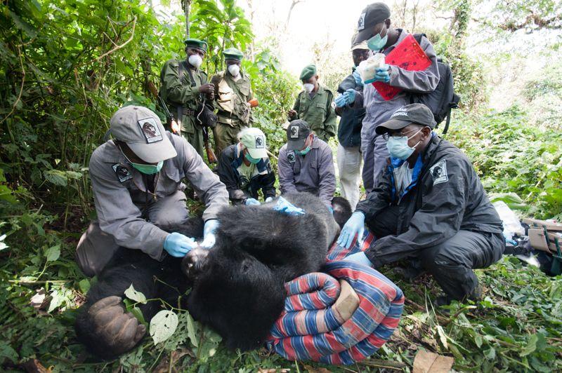 <strong>Aux petits soins</strong>. Une armada de 9 vétérinaires a été mobiliser pour soigner ce gorille des montagnes du Rwanda, victime de braconnage. La zoologiste Dian Fossey, assassinée en 1985 et instigatrice du projet «Gorilla Fund International» aurait été fière des progrès réalisés pour la protection de l'espèce. A sa mort, la région ne comptait plus que 250 gorilles, aujourd'hui on en dénombre plus du double.
