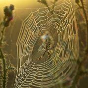 Quand l'araignée protége les plantes cultivées