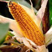 Le bétail européen peut encore manger des OGM