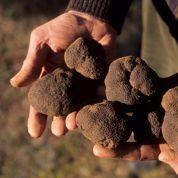 La truffe fragilisée par les sécheresses