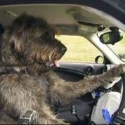 Des chiens apprennent à conduire