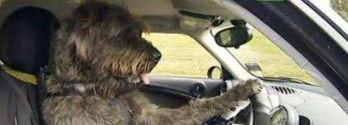 En Nouvelle-Zélande, des chiens apprennent à conduire