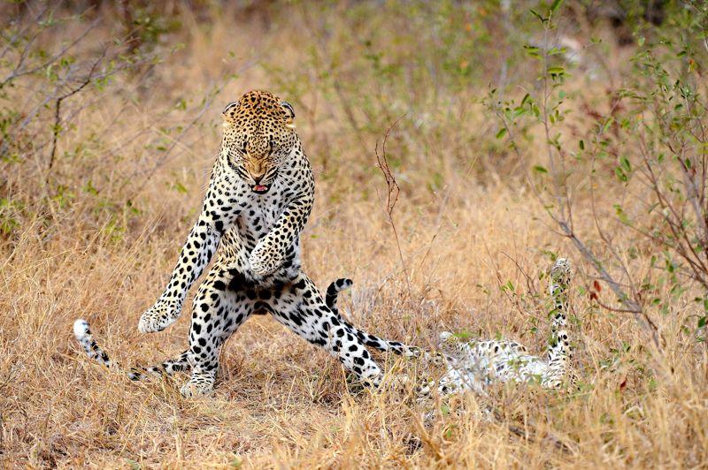 <strong>Karaté kid</strong>. Les babines retroussées, bien campé sur ses pattes arrière, ce léopard semble exécuter méthodiquement un enchaînement mortel de karaté. Bruce Lee de la savane africaine, il vient, semble-t-il, de terrasser son adversaire, qui gît sur le dos et demande grâce. Combat entre rivaux, jeu ou danse de séduction? Difficile de savoir, tant les mœurs de ces grands félins sont complexes. Tout ou presque peut se jouer sur un feulement ou un regard trop appuyé. En un instant, une douce sieste peut se transformer en un intense pugilat ou une sévère mise en garde. Puis, comme un chat domestique, le léopard change brutalement de comportement et redevient pacifique. Lentement, il se lèche les pattes, le regard dans le vide, l'air absent et se recouche.