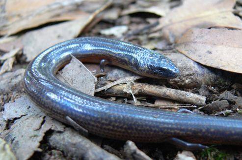Larutia nubisilvicola est un petit reptile découvert en Thaïlande, qui ressemble à un serpent mais conserve de toutes petites pattes.