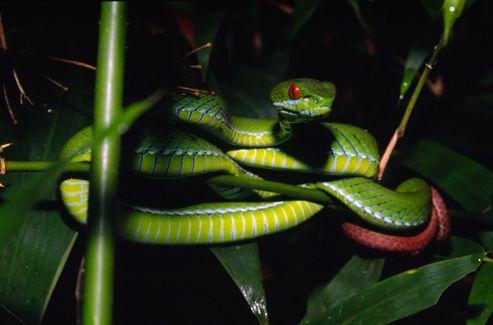 Trimeresurus rubeus, un serpent aux yeux rouges de la famille des vipéridés découvert au Vietnam.