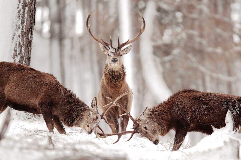 <strong>Duel en sous-bois.</strong> Image rare d'un combat de cerfs sous le regard d'un arbitre impassible et expert. Dans les forêts britanniques, la lutte pour s'imposer dans la harde entraîne les mâles à toutes les hardiesses, notamment pendant la période du rut. Si les combats sont souvent évités, il faut parfois laisser parler les bois. Les vieux mâles, eux, forts de leur expérience, comptent souvent les points en véritables maîtres du jeu. Jaugeant, tel un bretteur avisé et avec un flegme tout britannique, la fougue de ses comparses, le cerf situé au centre apprécie-t-il l'élégance de l'assaut de ses concurrents potentiels, ou applique-t-il malicieusement le proverbe chinois: «Le sage attend tranquillement que l'adversaire s'épuise»?