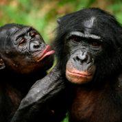 Les bonobos généreux avec les étrangers