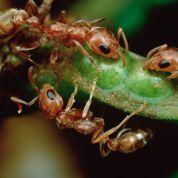 Les fourmis polluées par les phtalates