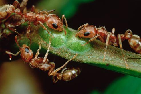 La cuticule (l'épiderme qui couvre le corps de l'insecte) de ces insectes sociaux laisse passer les molécules qui s'y déposent en surface et relargue aussi facilement vers l'extérieur les substances produites par l'animal.